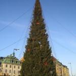 largest stockholm tree