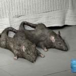 dead rats slippers design