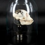 Departed - Vervet Monkey Skull-1