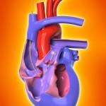 3d heart diagram