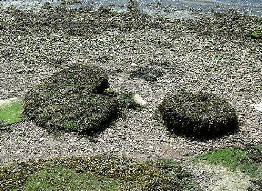 Pac-Man Seaweed