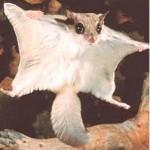 Flyingsquirrel1
