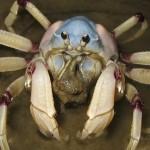 Australian Soldier Crab