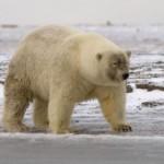 Grizzly-Polar