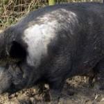 Iron-age pig