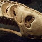 xenomorph-skull-4