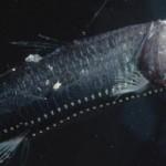 Pacific Viperfish