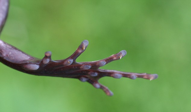 USA - Amphibians - Claws of a Trichobatrachus Robustus Frog