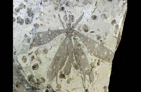Juracimbrophlebia
