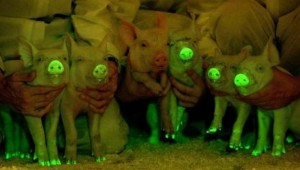 Glowing Pigs