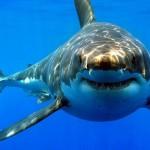 Australian Sharks – Twitter 2