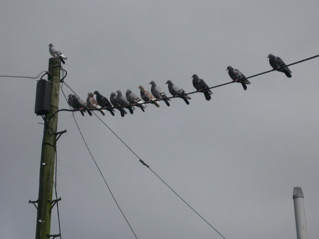 Birds_on_a_Wire_-_geograph.org.uk_-_551515