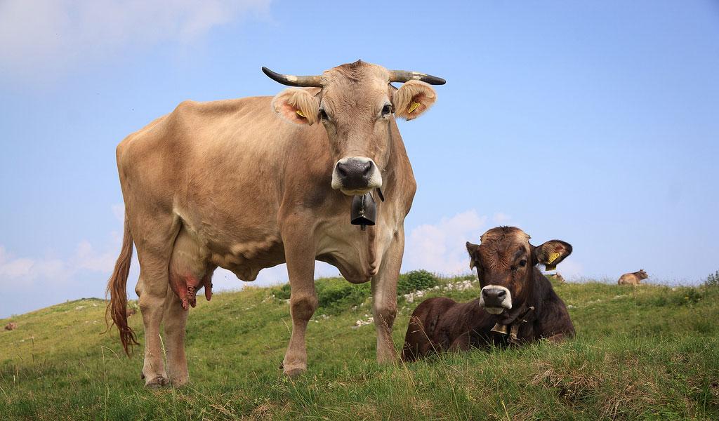 Cow & Bull