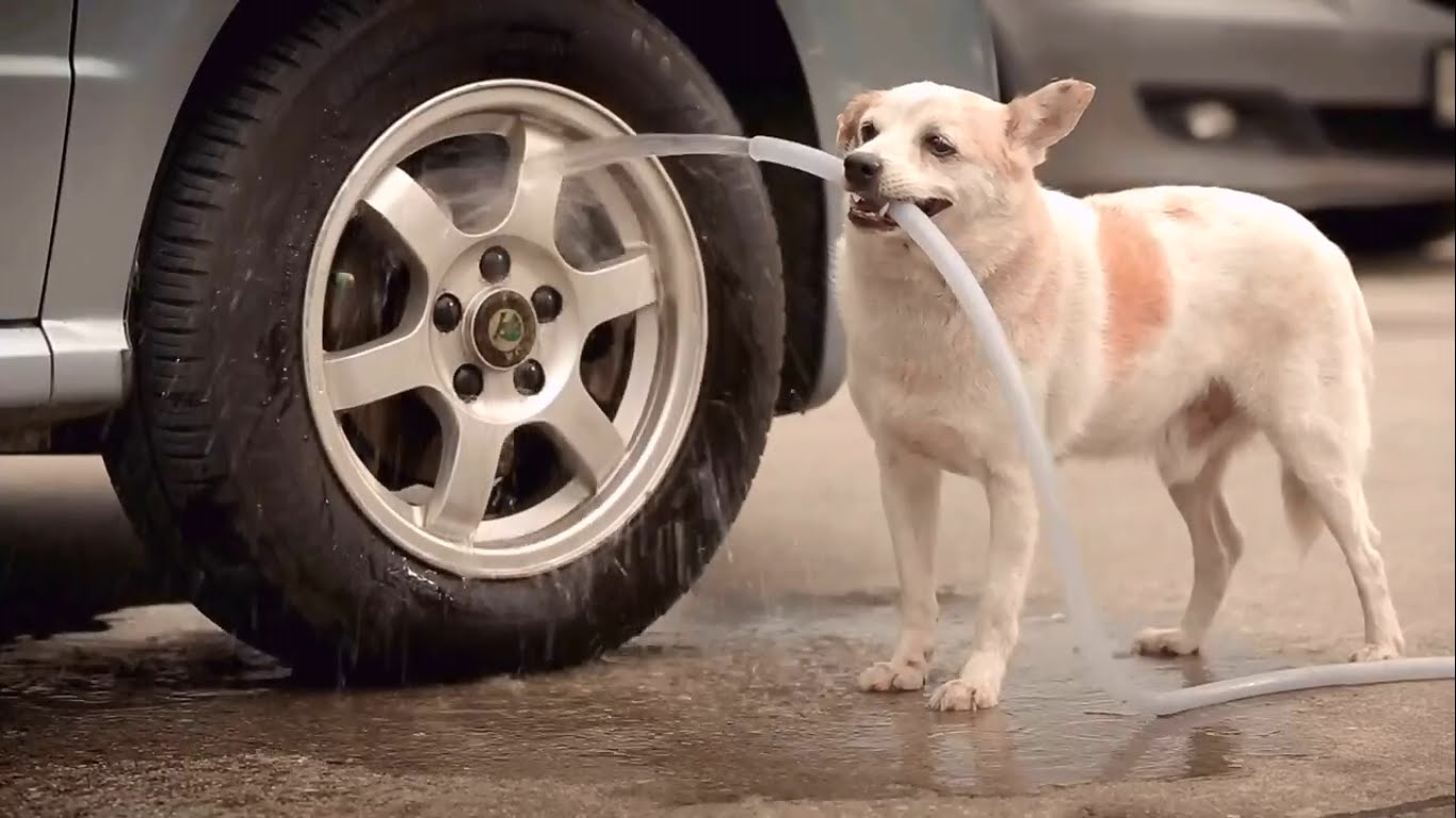 Dog Washing Car