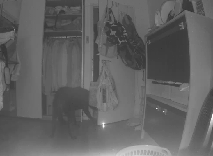 My dog chasing the laser pointer